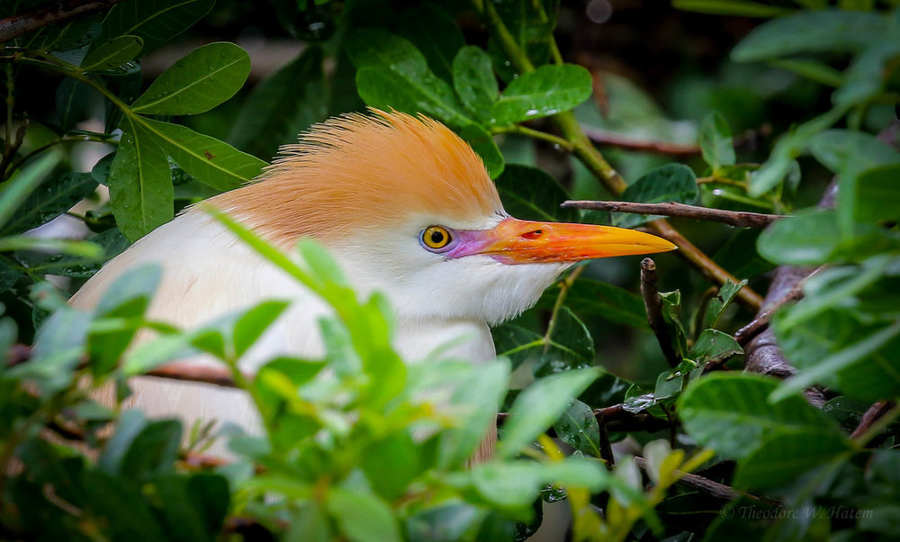 Cattle Egret.jpg