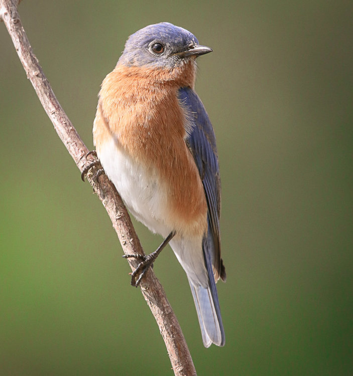 Eastern Bluebird. palm Coast.jpg