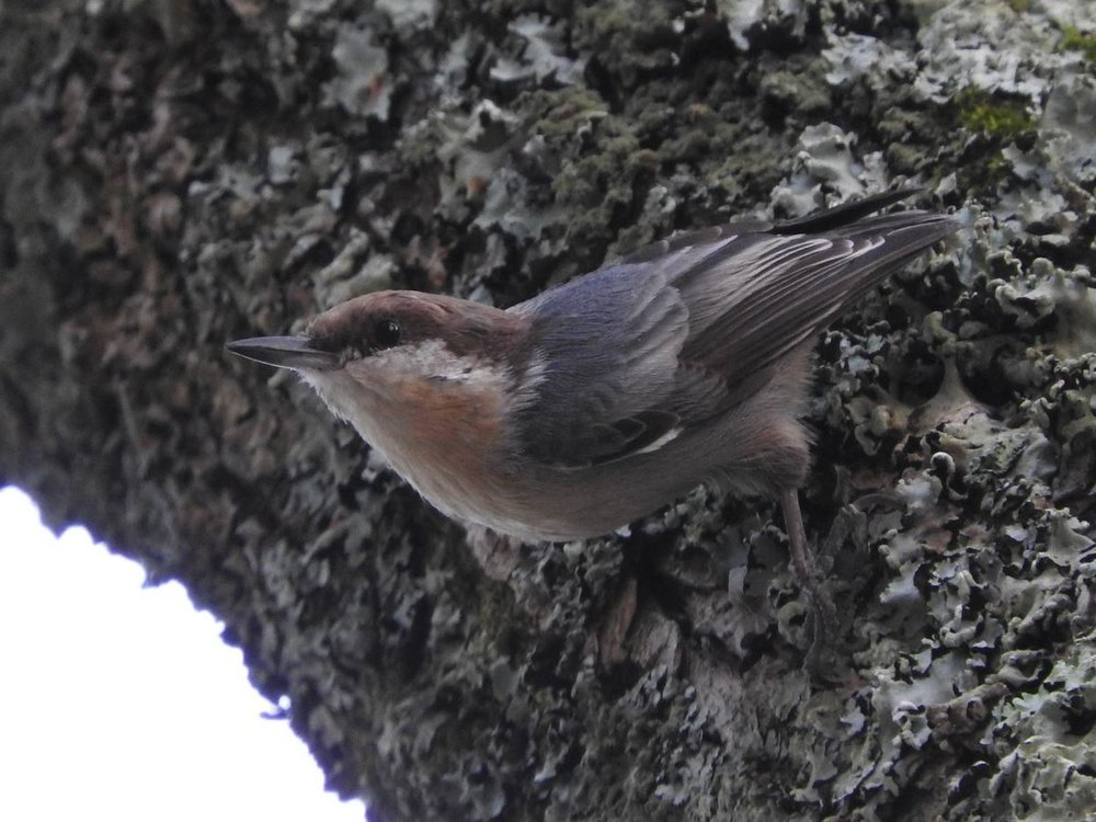 Brown-headed Nuthatch 8-26-18.JPG