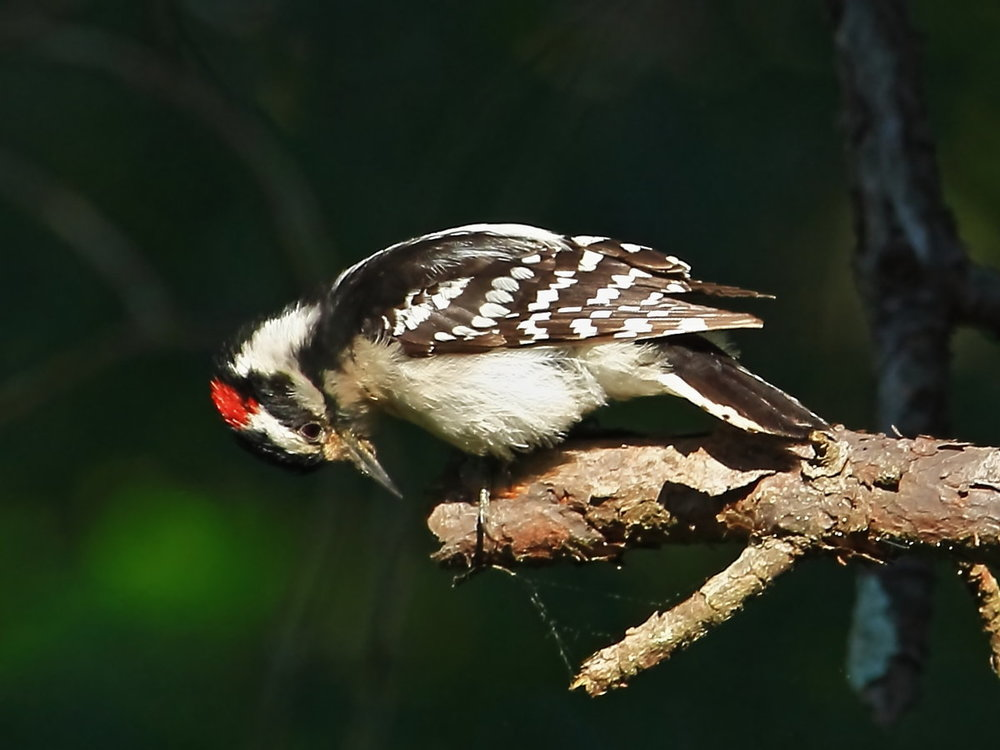 Downy Woodpecker 2 (4-23-12).JPG