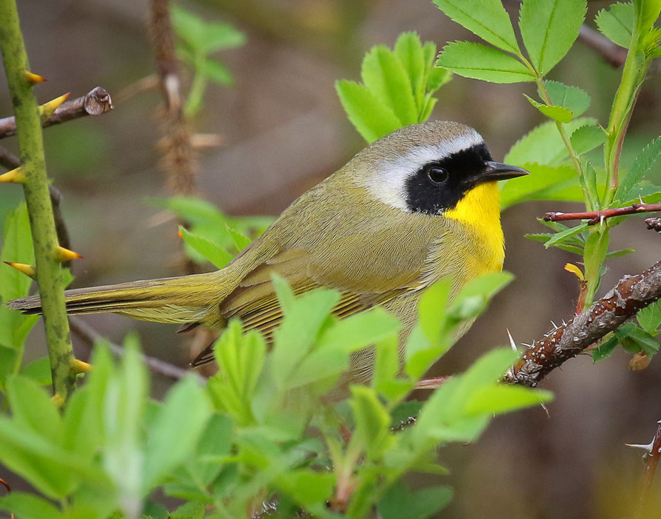 Yellowthroat_.jpg