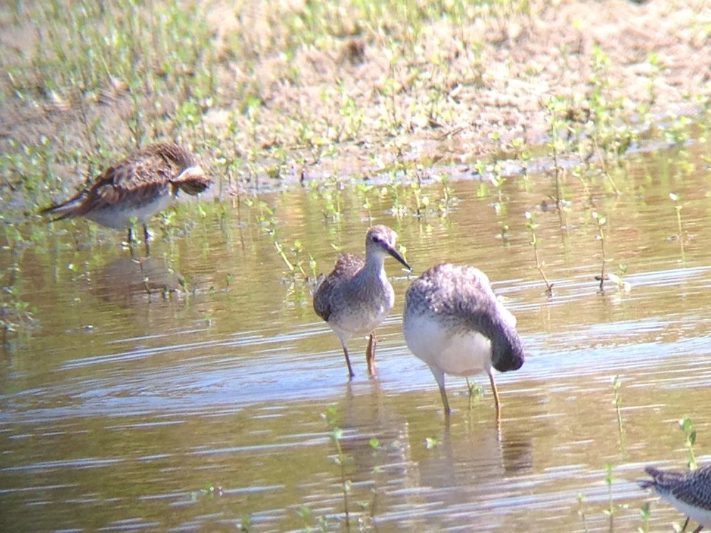 Lesser Yellowlegs?.jpg