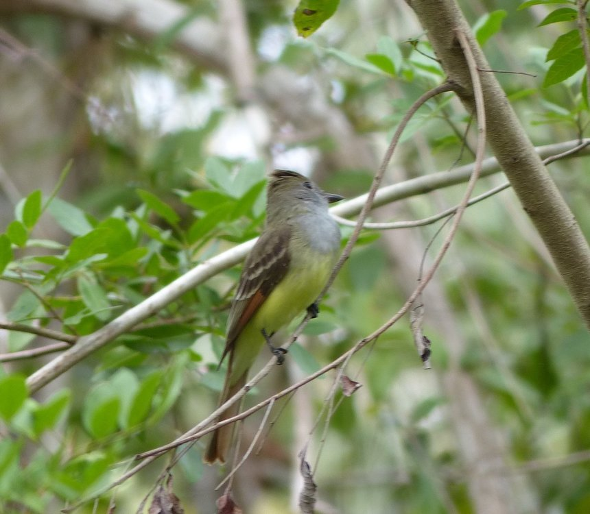 Great Crested Flycathcher- Marco Island.JPG