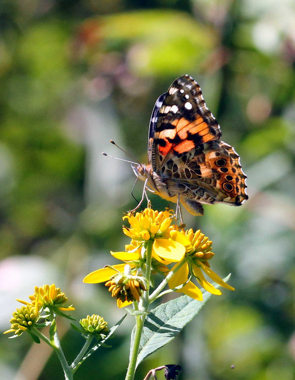 painted lady2.jpg
