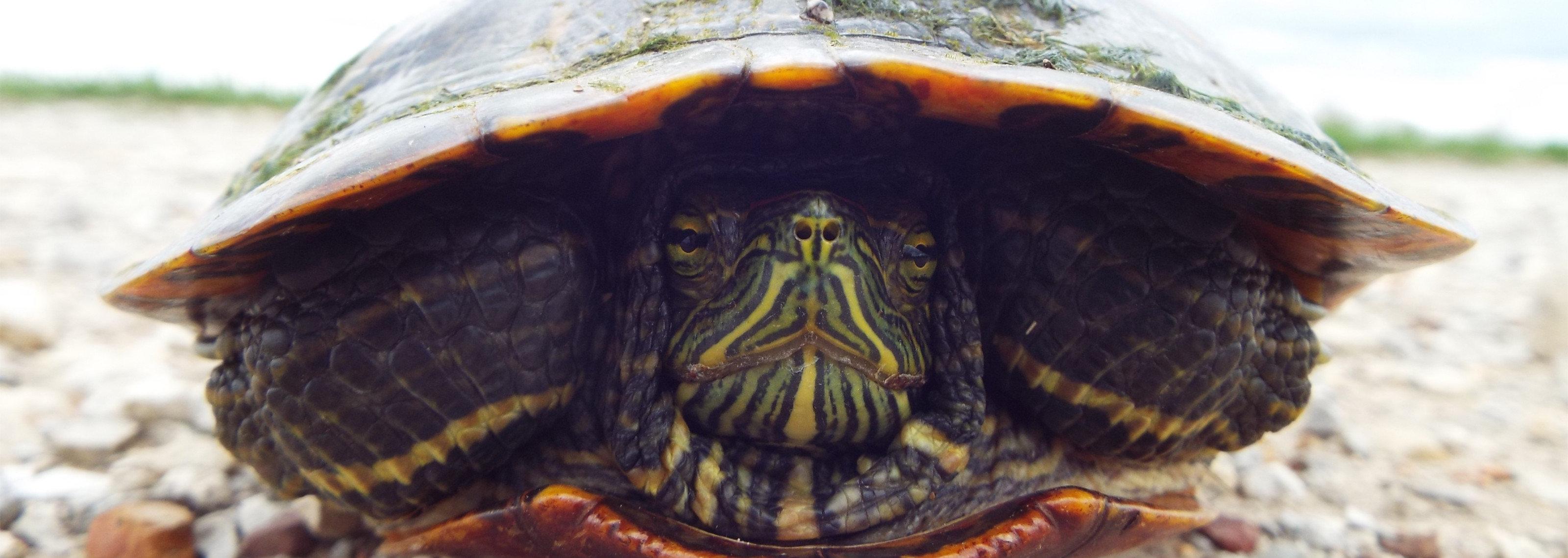 turtle3200x1140.jpg.5dd2908b614b95909f96