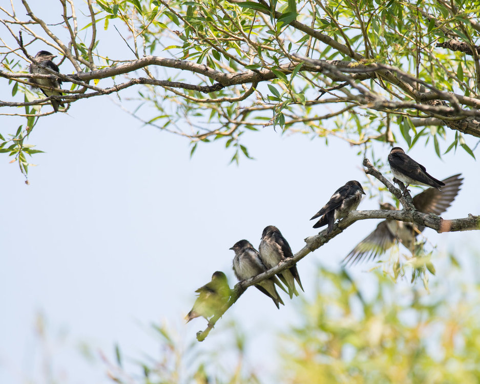 Tree Swallows HVT-6002986.jpg