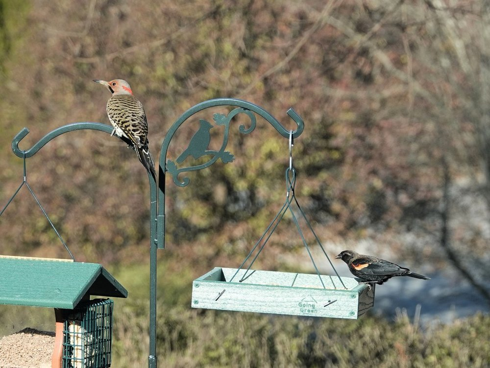 1590768289_NorthernFlicker(Yellow-shafted)andRed-wingedBlackbird-backyard-WestChesterPA(1)-12-4-18large.thumb.jpg.4045f95a15346881f154e7a699e058a0.jpg