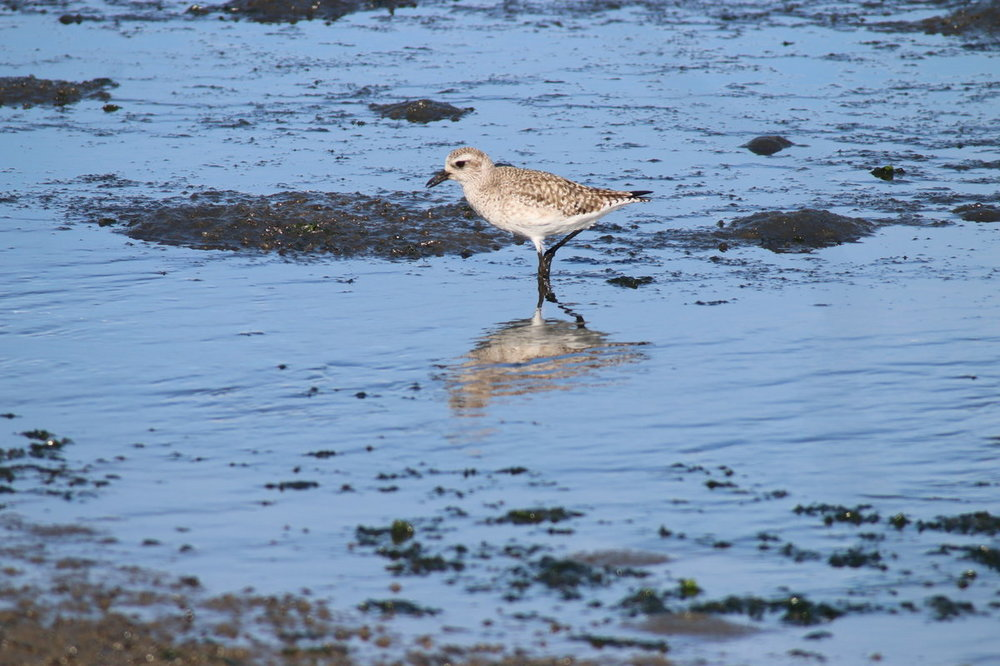 black-bellied plover or what, Jetty Rd, Moss Landing.JPG