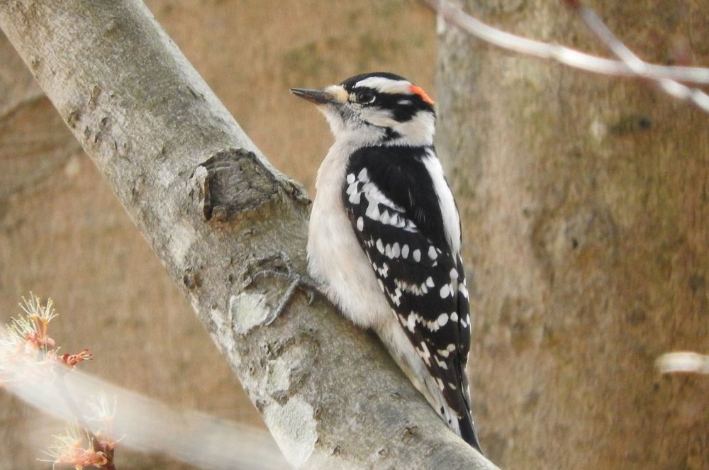 Downy Woodpecker 2-16-19.JPG