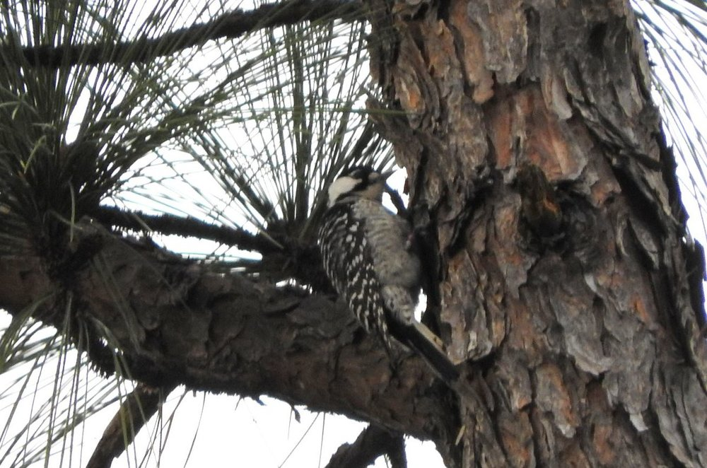 Red-cockaded Woodpecker 2.JPG
