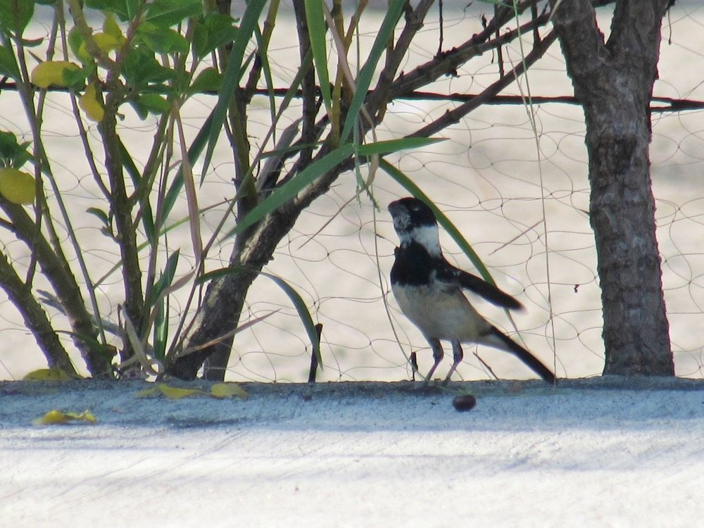 White-Collared Seedeater 3.jpg