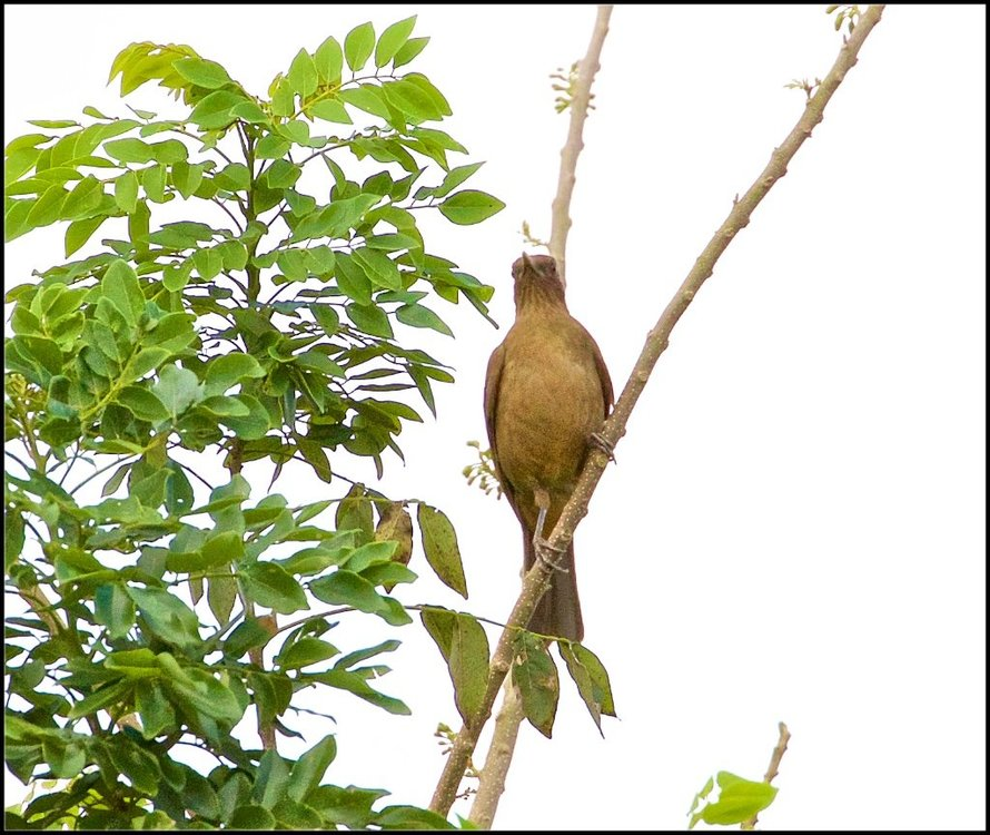 Clay-colored thrush.jpg