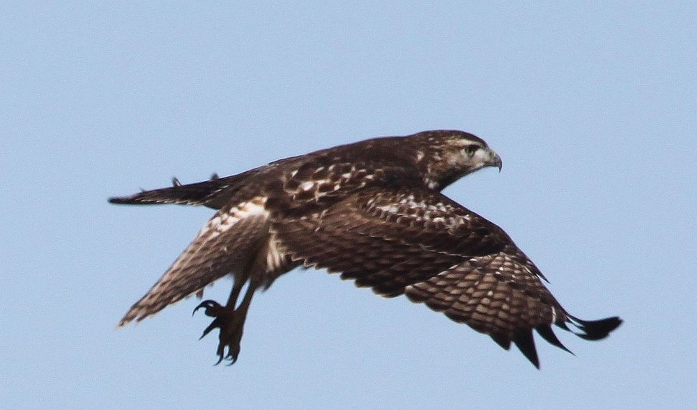 Wichita Oct 20 Hawk.jpg