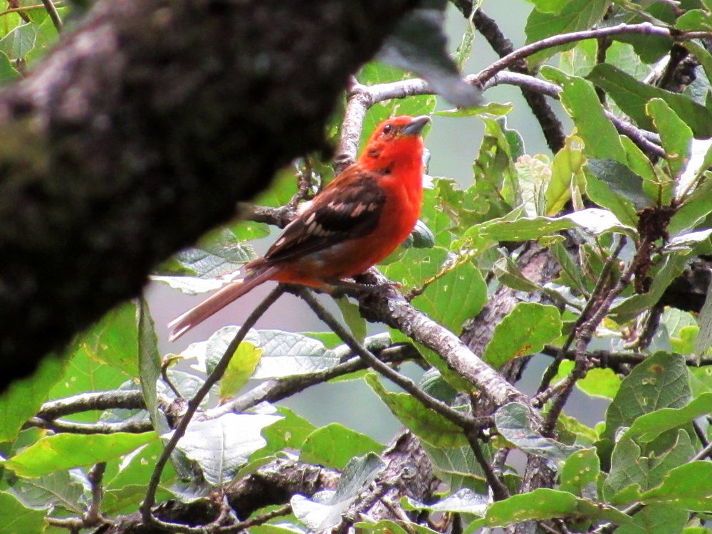 1033288801_Flame-ColoredTanager1.thumb.JPG.d48380ba455d7d8514e09ffccd479082.JPG