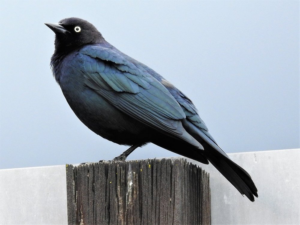 Brewer's Blackbird1.jpg