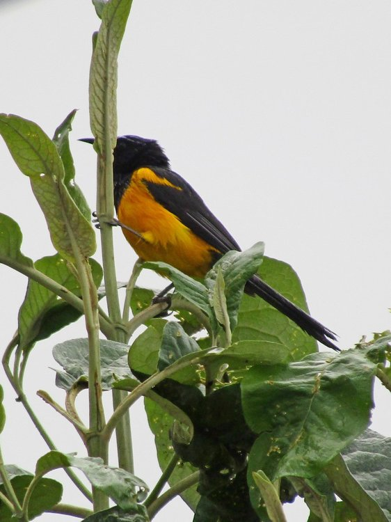 Black-Vented Oriole 2 28 may 2016.JPG