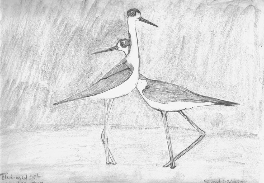 Black necked Stilt_0001.jpg