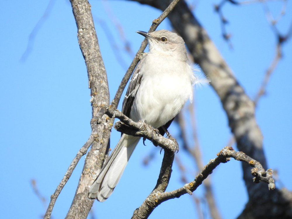 Northern mockingbird.