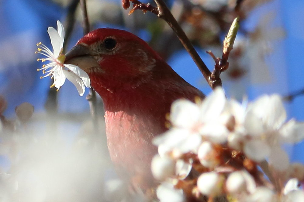 house_finch_blossoms_set_2_3697.JPG