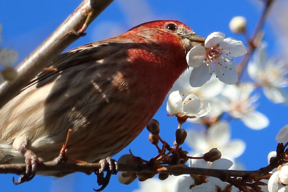 house_finch_blossoms_set_2_3729.JPG