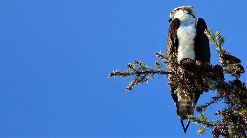 osprey_wallpaper_1920x1080_copyright_tom_hosie.JPG