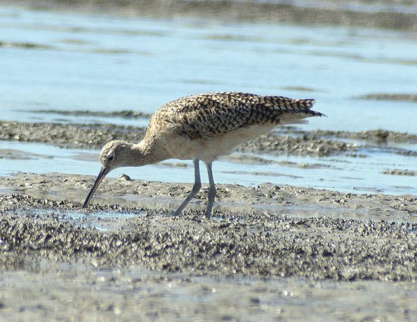 _VNR7687_long Billed Curlew.jpg