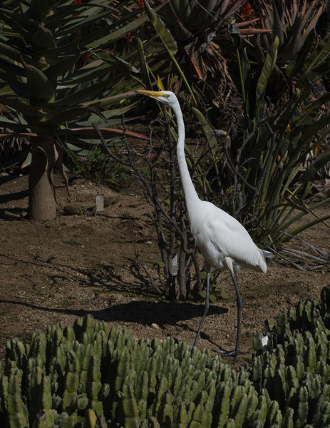 _DSC3695_great_egret.jpg