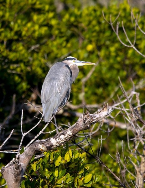 _DSC8795_Great_Blue_Heron.jpg