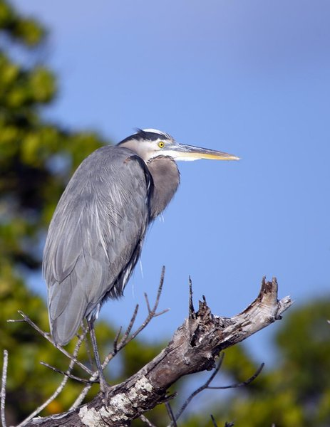 _DSC8818_Great_Blue_Heron.jpg