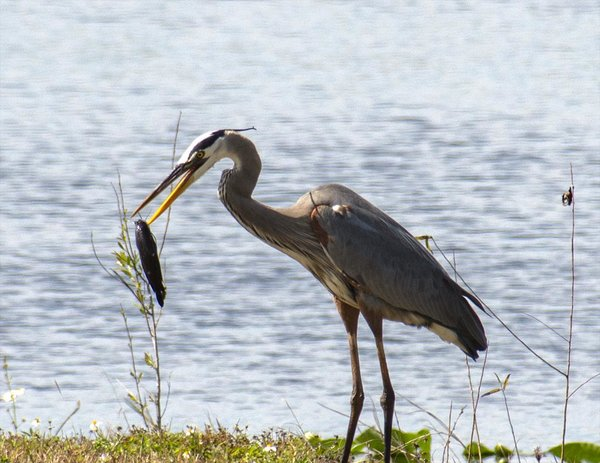 _VNR5734_blue_heron_at_restaurant.jpg