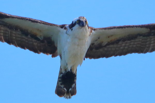 Osprey with a flounder