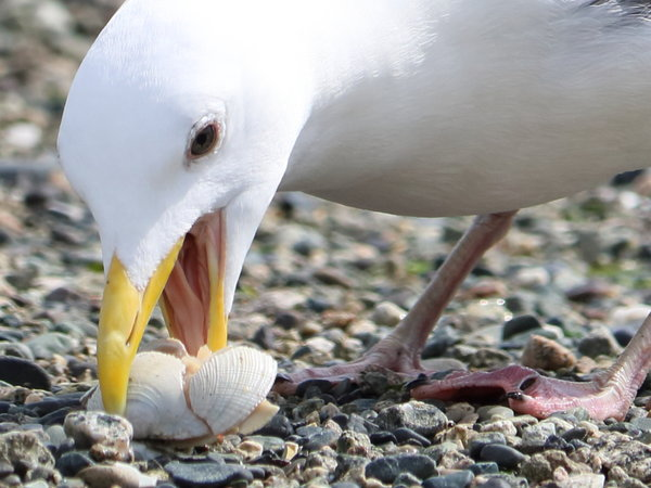 Seagull with a clam