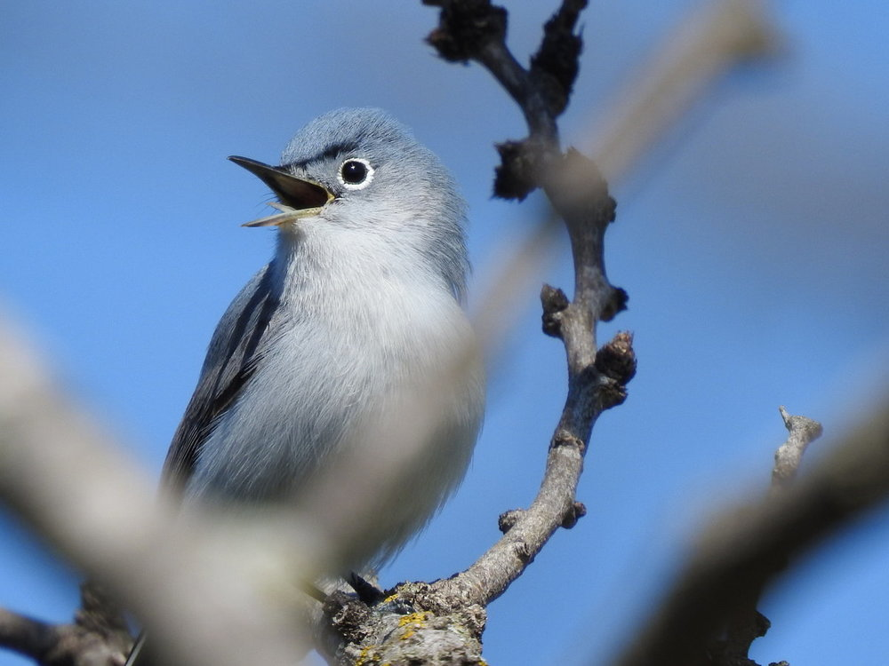 gnatcatcher, blue-gray (6).JPG