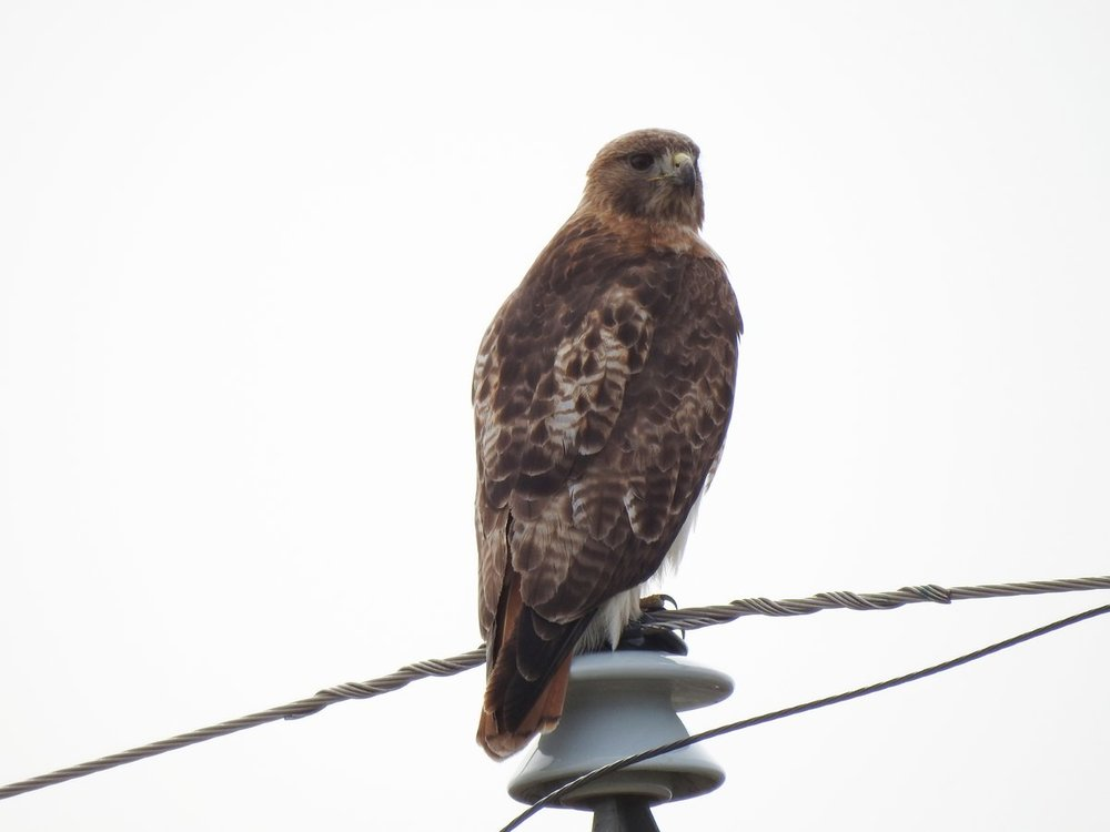 hawk, red tailed (5).JPG