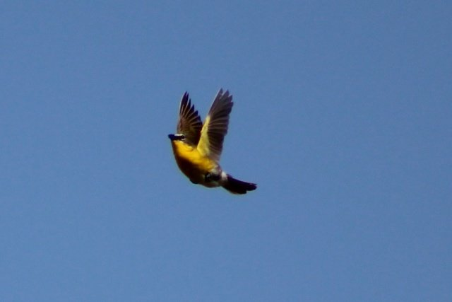 1017327207_commonyellow-throatinflight.JPG.61a6a38454302f0dc1101704f3932ca6.JPG