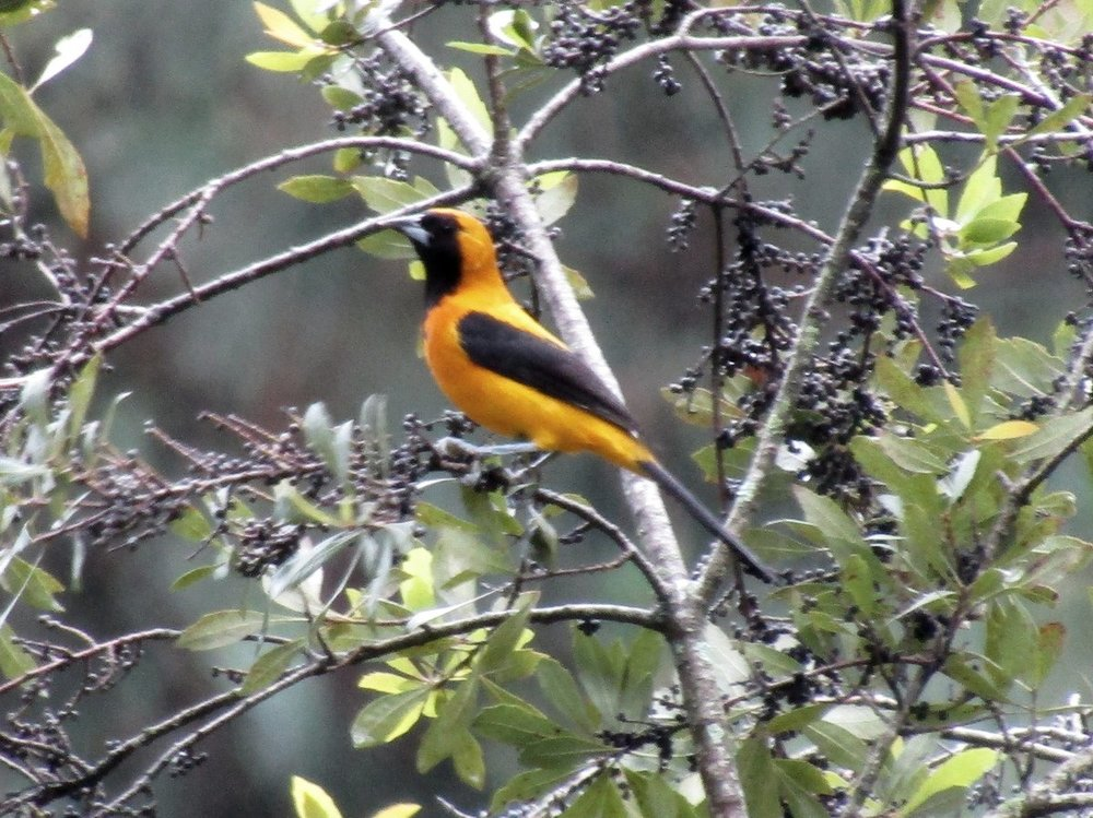 1202543075_Yellow-BackedOriole1.thumb.jpg.3fa8da9914fee98c87e79615617168d0.jpg