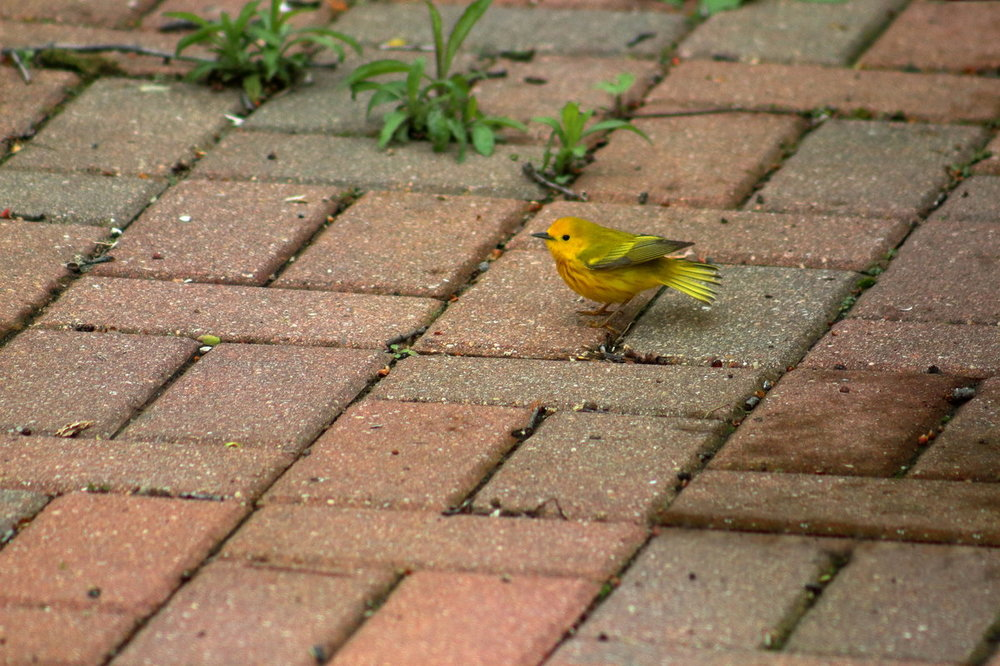 YellowWarbler 1.JPG
