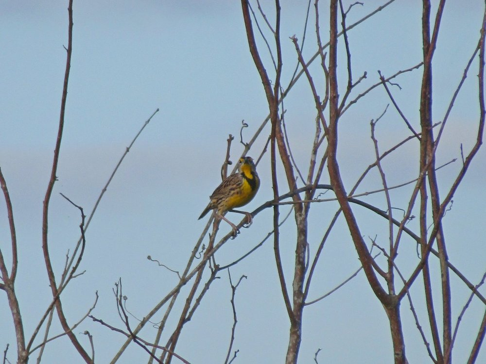 Eastern Meadowlark 2 small.JPG