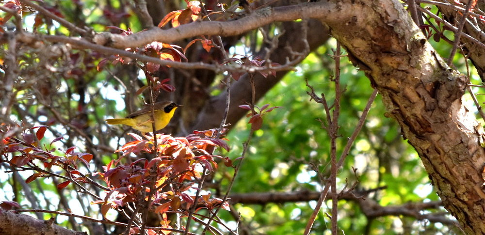 152910420_CommonYellowthroat.thumb.JPG.a0b013e3835404c7ab104669e981f76a.JPG