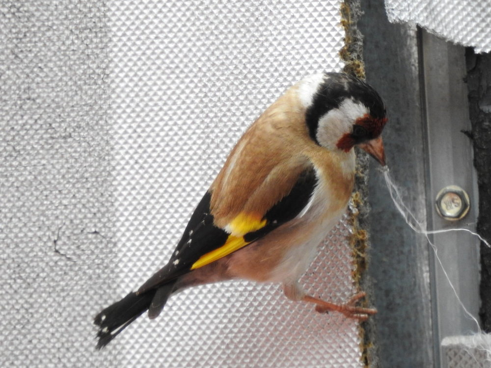 goldfinch, european (3).JPG