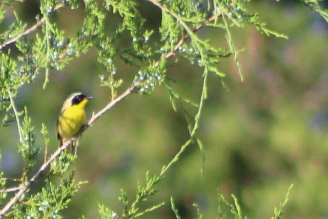 491982204_commonyellow-throat2.JPG.bec76b4f3eadc62bdd3359774bba3448.JPG