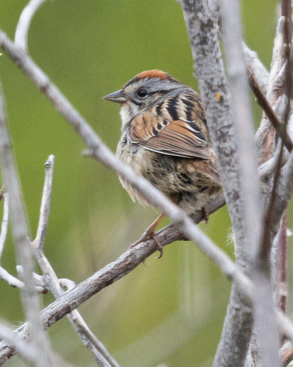 Swamp Sparrow HVT-7217718.jpg