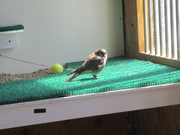 American Kestrel, Female (World Center for Birds of Prey)