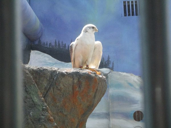Arctic Gyrfalcon 3 (World Center for Birds of Prey)
