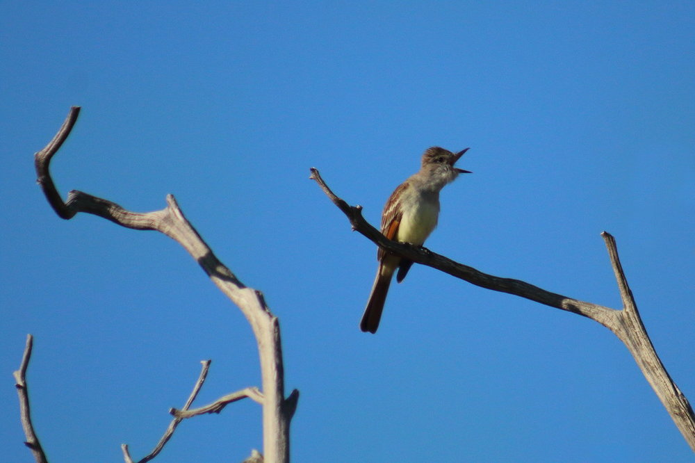 Possible Great-Crested Flycatcher 1.JPG