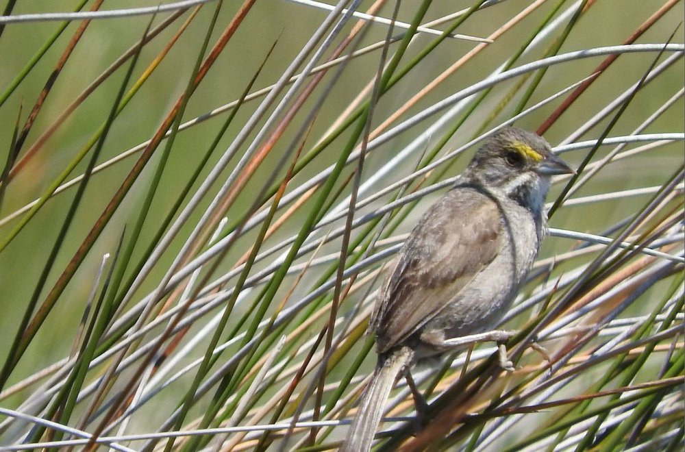 Seaside Sparrow 2 6-21-19.JPG