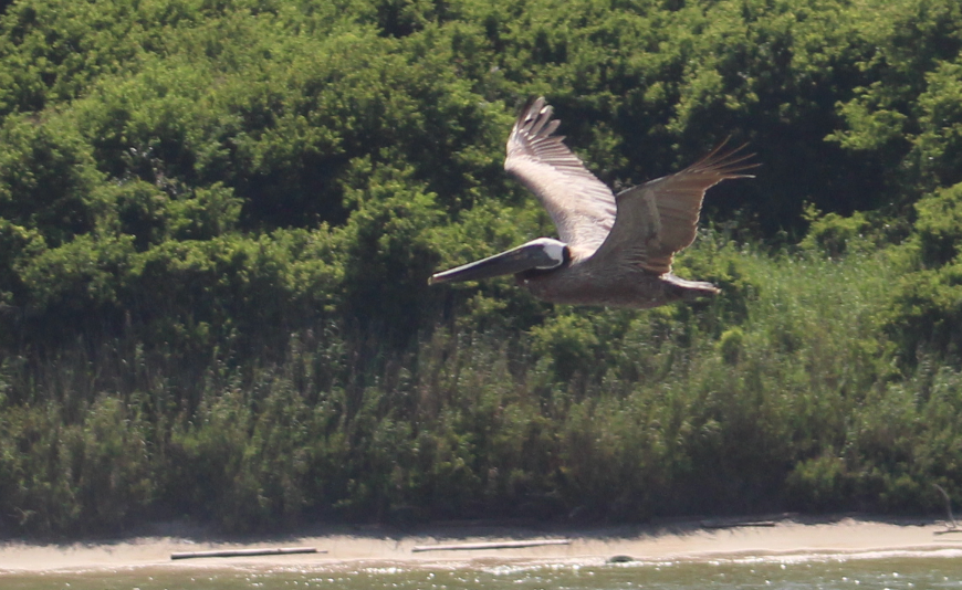brown pelican.PNG