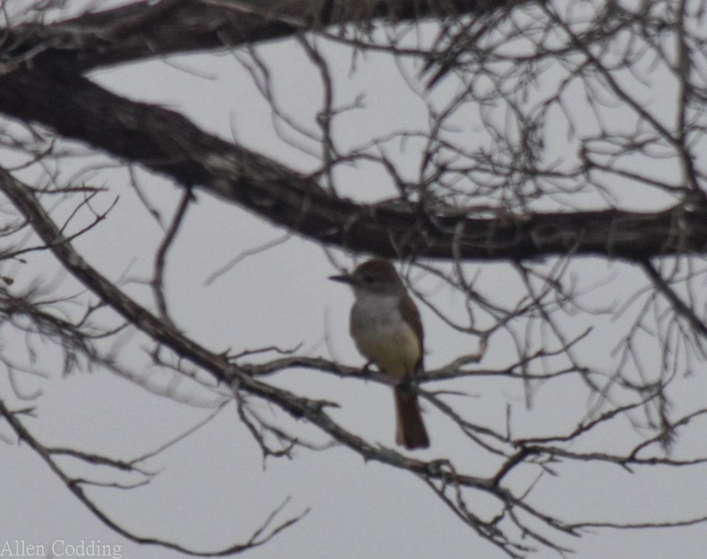 ash throated flycatcher june 20 2019.jpg
