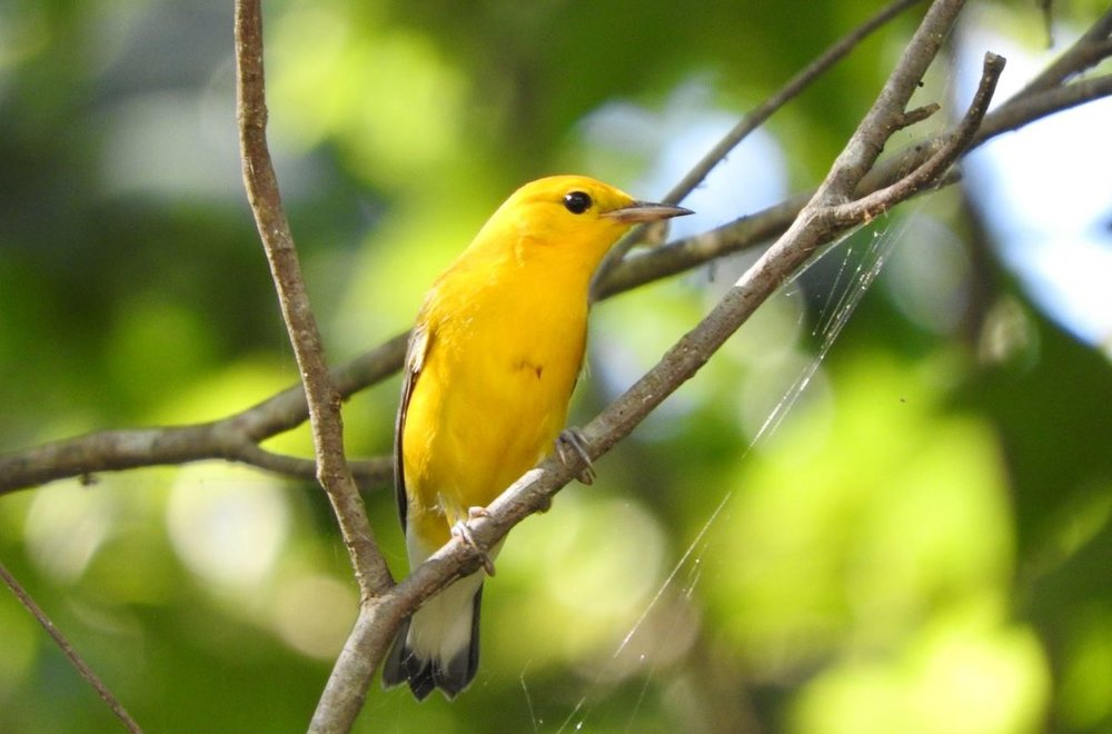 Prothonotary Warbler 7-14-19.JPG