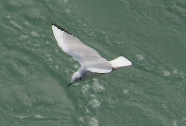 Gull - Niagara Falls ON - 3.PNG
